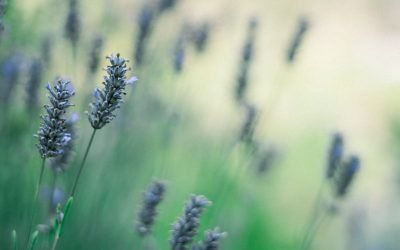 Comparison: Best French Lavender Essential Oils